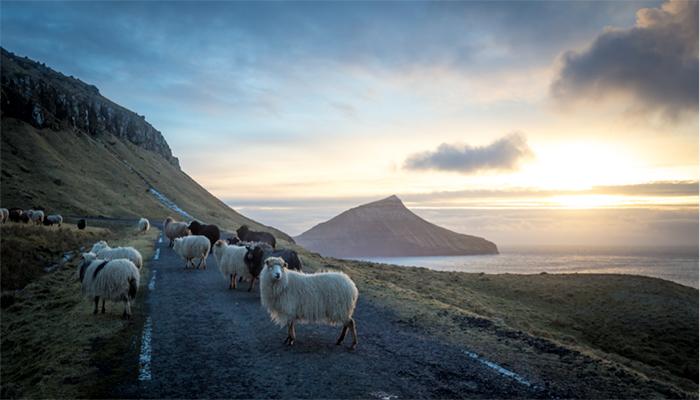 A Feröer-szigetek juhai